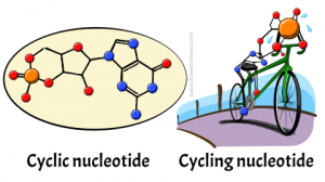 Cyclic nucleotide diagram