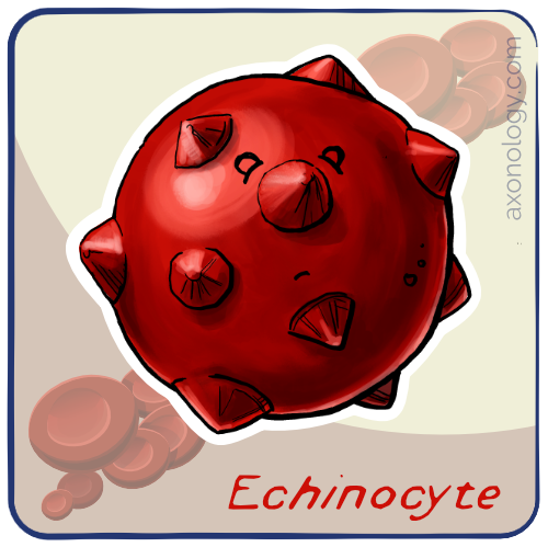 echinocyte